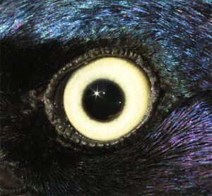 GrackleCommonMEye01